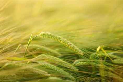 Centeno Ecoagricultura