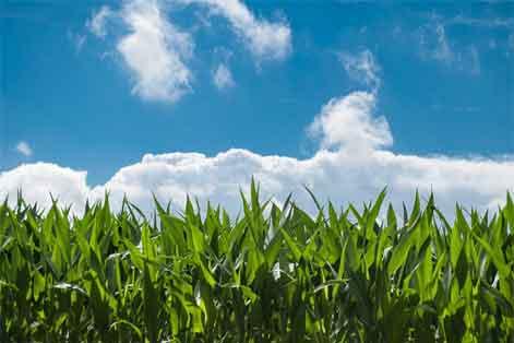Maíz Ecoagricultura